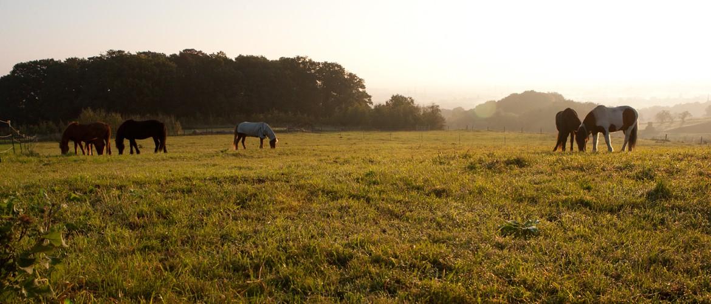 Grasende Pferde auf der Weide, Foto: Cornelia Meyer-Sattler